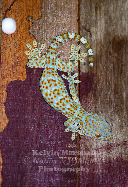 The Tokay Gecko (Gekko gecko) is a nocturnal arboreal gecko, ranging from northeast India and Bangladesh, throughout Southeast Asia, Philippines to Indonesia and western New Guinea. Its native habitat is rainforest trees and cliffs, and it also frequently adapts to rural human habitations, roaming walls and ceilings at night in search of insect prey.