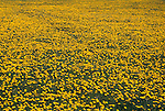 Vast sea of yellow dandelions (Taraxacum officinale), Grand County, CO