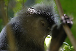 Silvered leaf monkey in Borneo