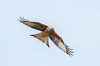 Milvus milvus<br />