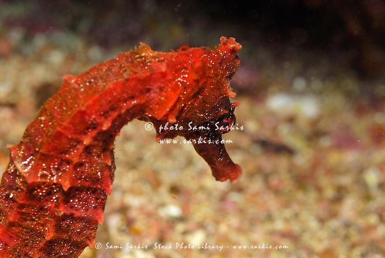 Red Pacific seahorse (Hippocampus ingens), close-up, underwater view,, Ecuador, Galapagos Archipelago,