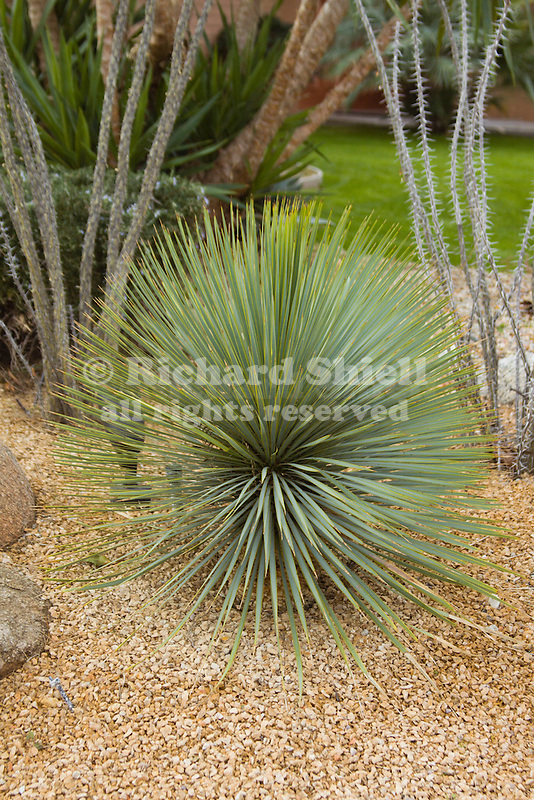 35446-BGD Mexican Grass Tree or Toothless Desert Spoon or ...