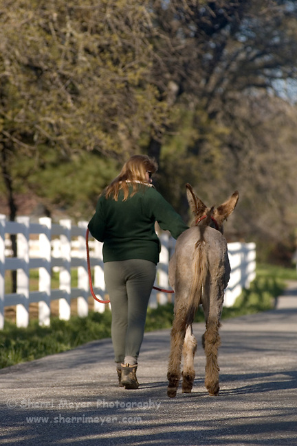 Woman walking down a contry lane with her donkey, Auburn California.