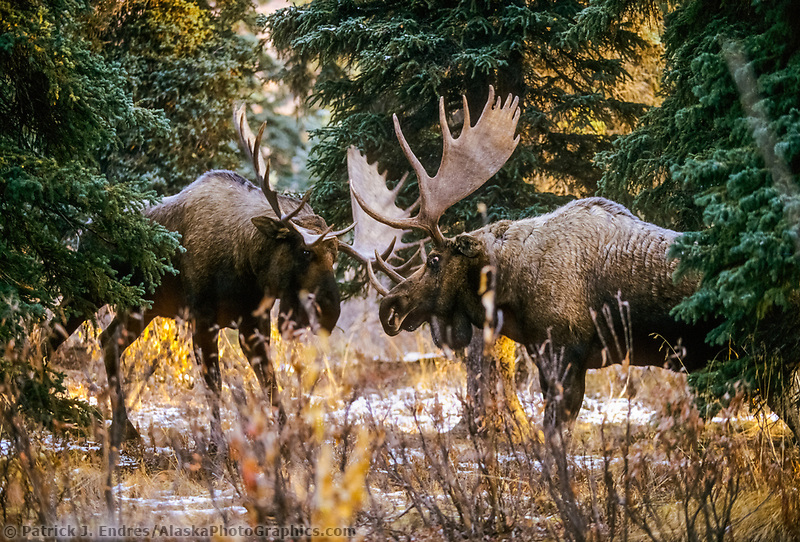Two bull moose spar during the rut season in a boreal forest, Denali National Park, Alaska.