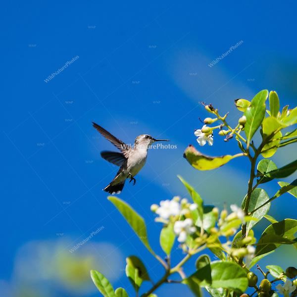An endemic female Bee Hummingbird (Mellisuga helenae) in flight, showing the white tips on her retricies. Cuba.