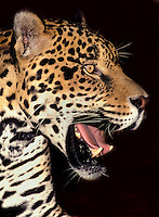 650359016 portrait of a wildlife rescue jaguar panthera onca at a wildlife rescue facility -species is highly endangered in its wild habitat in mexico central and south america - dustin