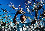 Plantação de algodão em Leon. Nicarágua. 1981. Foto de Juca Martins.