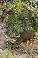 Mule deer buck foraging.  Northern Arizona.  Fall.