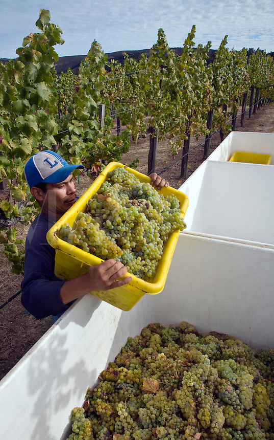 A farm worker picks SAUVIGNON BLANC grapes at JOULLIAN VINEYARDS - CARMEL VALLEY, CALIFORNIA