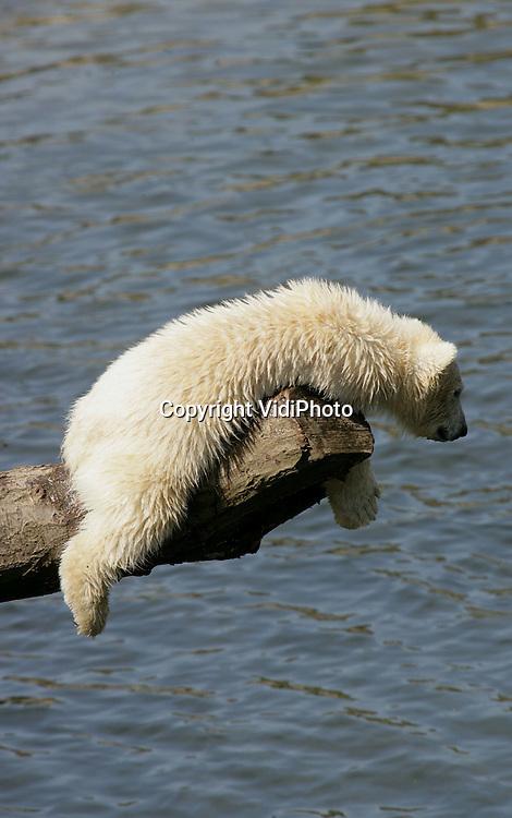 Foto: VidiPhoto..RHENEN - De pasgeboren jonge ijsbeertjes van Ouwehands Dierenpark in Rhenen genieten donderdag van het mooie weer. Die diertjes vermaken het publiek met prachtig snoekduiken of het gevecht om bevroren appels als ze gevoerd worden. Ouwehands heeft de ijsberen bevroren fruit op warme dagen als extra spelelement. De drie in november 2005 geboren jonkies mochten op 10 maart pas voor het eerst naar buiten. Foto: Luieren in het zonnetje.