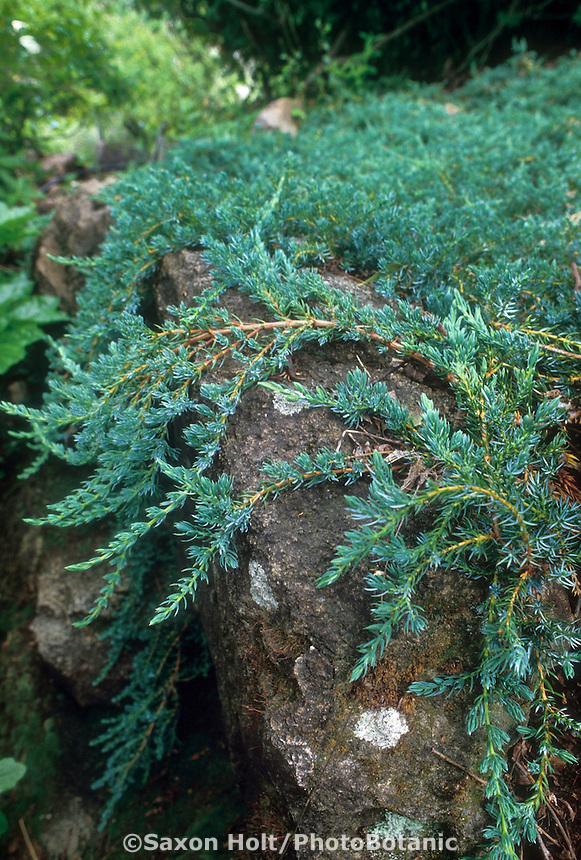 Juniperus sabina 'Buffalo' (Juniper) groundcover on rock
