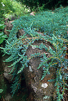 Juniperus sabina 'Buffalo' (Juniper) groundcover on rock