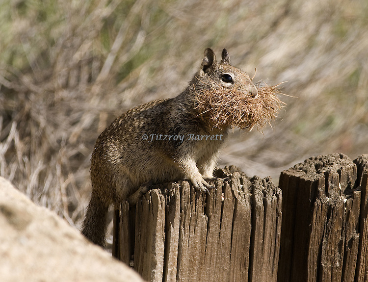 Antelope Ground Squirrel.Ammospermorpholus leucurus.gathering dried vegetation for its den..Antelope Valley, California. April 6, 2008. Fitzroy Barrett