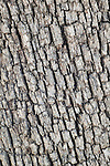 Bark pattern of Arizona white oak (Quercus arizonica), Coronado National Forest, Arizona