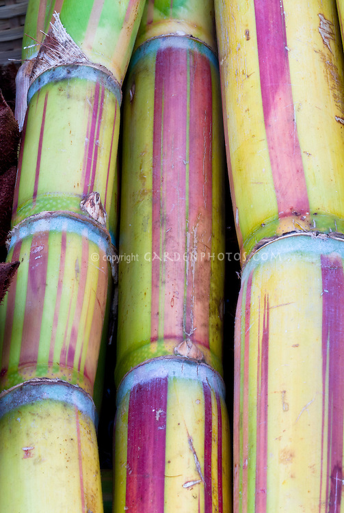 Saccharum officinale Sugar Cane stalks closeup detail of several lengths