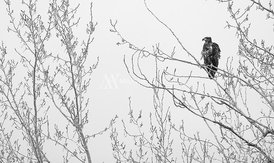 A juvenile Bald eagle perches near Boundary Bay.