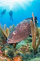 black grouper, Mycteroperca bonaci, and scuba diver, coral reef, Gardens of the Queen, Jardines de la Reina, Jardines de la Reina National Park, Cuba, Caribbean Sea, Atlantic Ocean