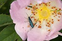 Blauer Scheinbockkäfer, Blütenbesuch auf Wildrose, Ischnomera spec., Asclera spec., Ischnomera cyanea oder Ischnomera caerulea, Scheinbockkäfer, Schein-Bockkäfer, Scheinböcke, Pollen-feeding Beetle, Thick-legged Flower Beetle, false blister beetles, pollen-feeding beetles, Oedemeridae