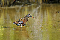 575100003 a wild adult virginia rail railus limicola forages in a shallow pond near the pacific ocean in ventura county california united states