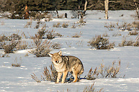 A coyote in Grand Teton National Park in Winter.
