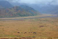 Caribou travel the autumn tundra of Highway pass in Denali National Park.