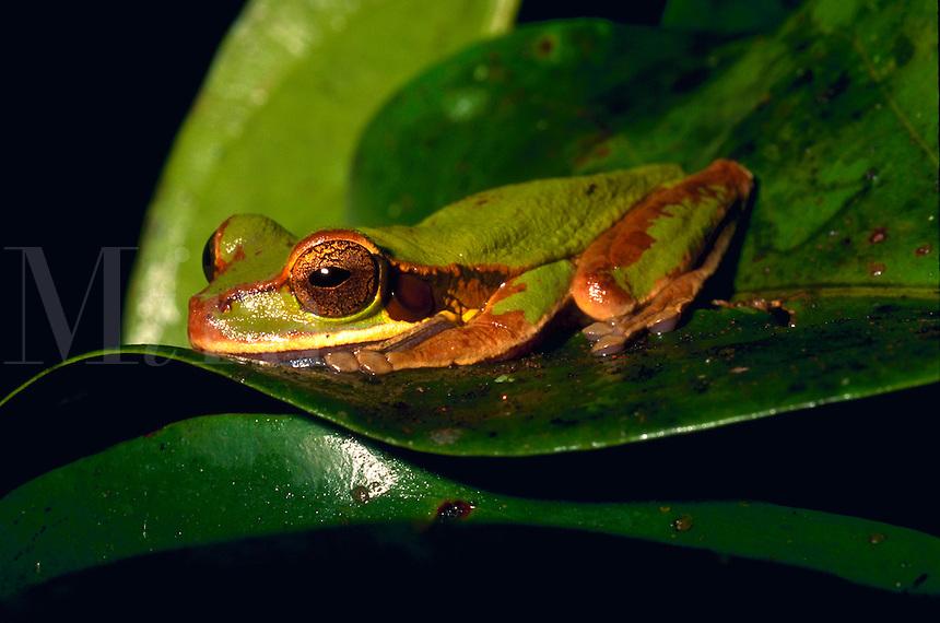 Tree frog. Costa Rica.