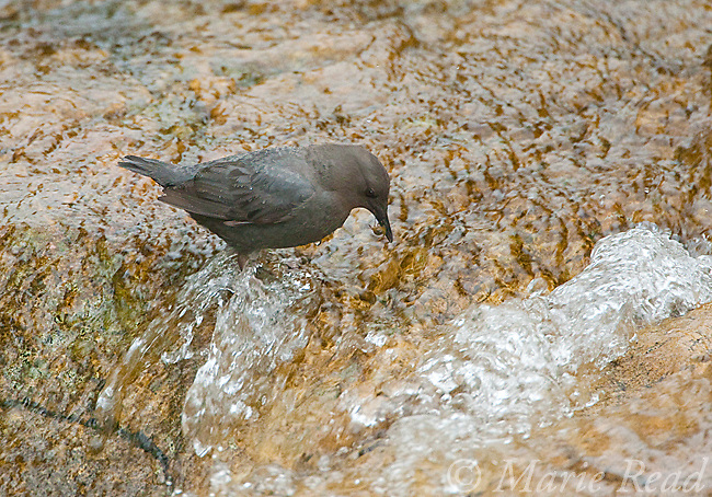 American Dipper (Cinclus mexicanus), foraging along a rocky stream, with prey in its bill, Mono Lake, Basin, California, USA