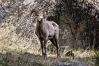 A bighorn sheep (Ovis canadensis) in Yellowstone National Park