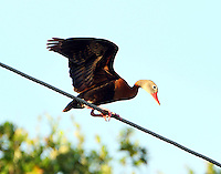 Adult black-bellied whistling-duck on power line