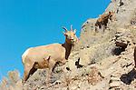 Bighorn Sheep, Female and Juvenile, Gardner Canyon, North Entrance, Yellowstone National Park, Wyoming