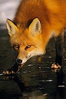 Red fox (Vulpes vulpes) standing on frozen lake.  Winter.