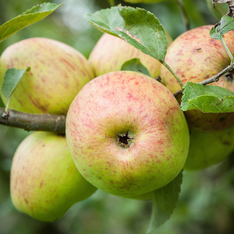 Apple 'Hoary Morning', mid September. A popular old West Country dessert apple, believed to originate from Somerset as long ago as 1819.