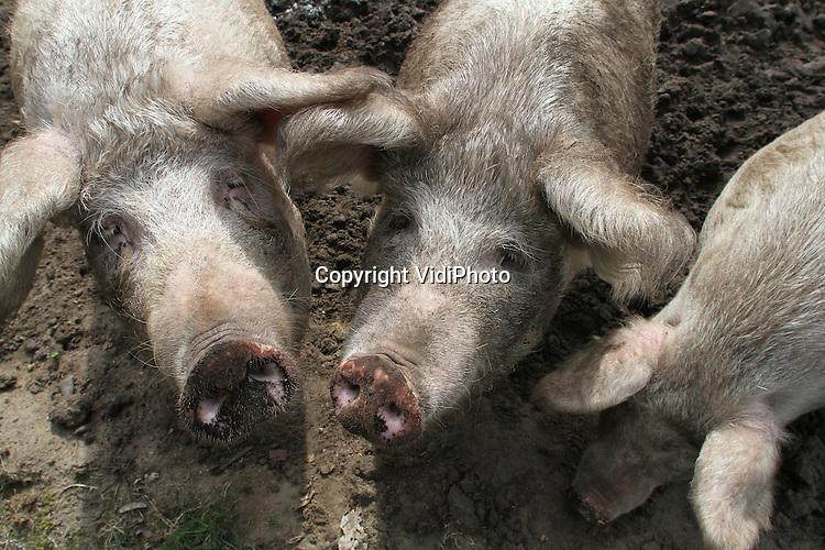 Foto: VidiPhoto..STERKSEL - Op het Varkens Innovatie Centrum (VIC) in het Brabantse Sterksel wordt gefokt met drie afstammelingen van het oervarken. De wolvarkens, ook wel krulvarkens genoemd vanwege hun zware beharing, blijken zeer gezonde scharrelbiefstukken. Het opmerkelijk smaakvolle vlees is zelfs cholesterol verlagend. Inmiddels zijn er drie varkensboeren met deze uit Hongarije afkomstige vleesvarkens aan de slag gegaan. De drie gekruiste proefvarkens op het VIC, met aanmerkelijk minder beharing, moeten ook andere varkensboeren in Nederland inspireren om op zoek te gaan naar alternatieven voor de bio-industrie. Nadeel is alleen dat wolvarkens drie keer zo langzaam groeien als gewone varkens. In het VIC werken de Wageningen Universiteit (WUR), overheid en varkenssector samen..