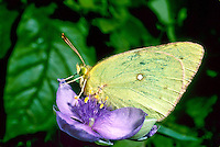 Sulfur butterfly on purple spiderwort flower close up