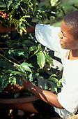 Rio de Janeiro State, Brazil. Young coffee picker.