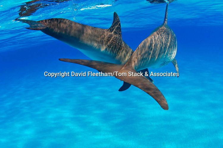 Atlantic Spotted Dolphin, Stenella plagiodon, have been sighted in herds of several thousand, although they are more often found in smaller groups.  Bahamas.