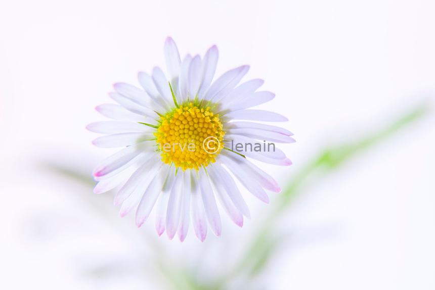 paquerette, Bellis perennis // Common Daisy, Bellis perennis