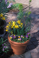 Spring bulb container garden, small Narcissus daffodils with pansies Violas
