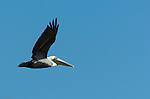 Brown Pelican in Flight, Sanibel Island, Florida