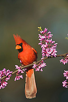 Northern Cardinal (Cardinalis cardinalis), Dinero, Lake Corpus Christi, South Texas, USA