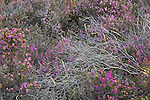 Heather on Beaulieu Heath, New Forest National Park, Hampshire, England UK