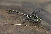 Black-shouldered Spinyleg (Dromogomphus spinosus) Dragonfly - Male, Swift River Reservation, Petersham, Worcester County, Massachusetts