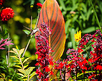 An Anna's Hummingbird (Calypte anna) is caught in mid flight feeding on bright red cardinal flowers (Lobelia cardinalis) with a Tropicanna Canna Lily (Canna x generalis 'Tropicanna') leaf with stripes in the background of this flower garden.