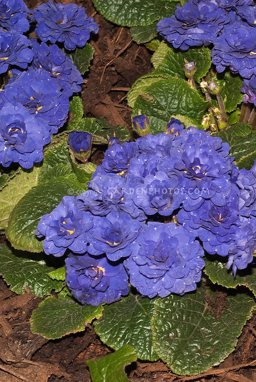 Vivid blue flowers of double flowered perennial Primula 'Belarina Cobalt Blue' primrose