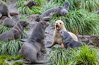 Antarctic fur seal, Arctocephalus gazella, aka Kerguelen fur seal, rare, leucistic pup, playing along with normally dark-colored pup, Cooper Bay, South Georgia, Atlantic Ocean