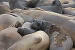 Molting elephant  seal females