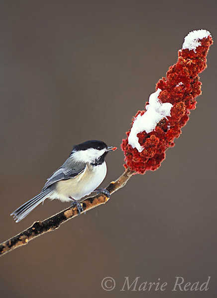 Black-capped Chickadee (Poecile atricapilla) takes a seed from staghorn sumac in winter, New York, USA<br /> Slide # B123-481