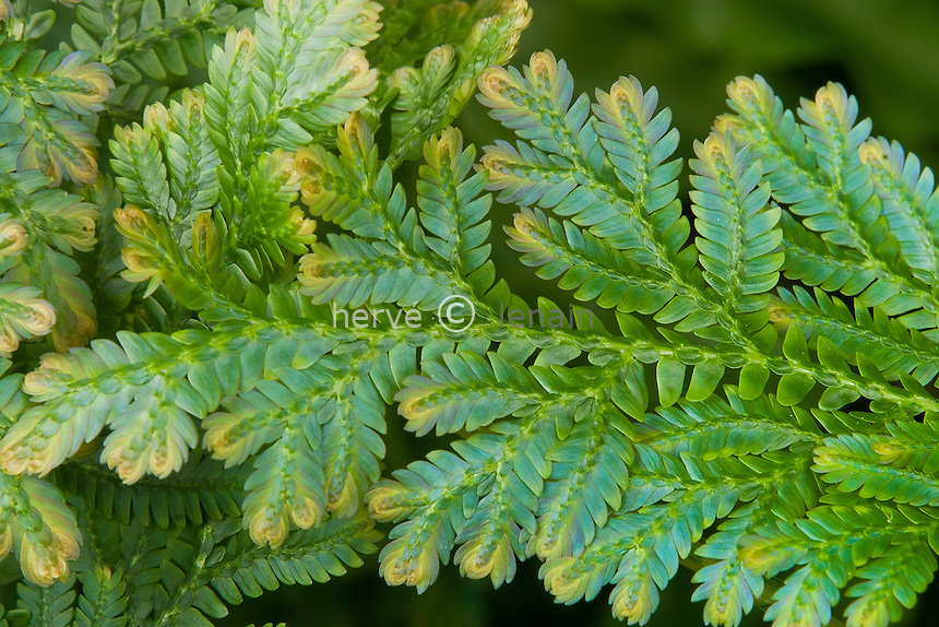 Selaginella willdenowii, sélaginelle aux reflets bleu métallique // spikemosses, Selaginella willdenowii
