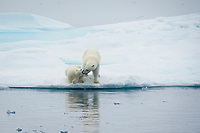 polar bear, Ursus maritimus, mother, cub, playing on iceberg, Baffin Island, Nunavut, Canada, Arctic Ocean