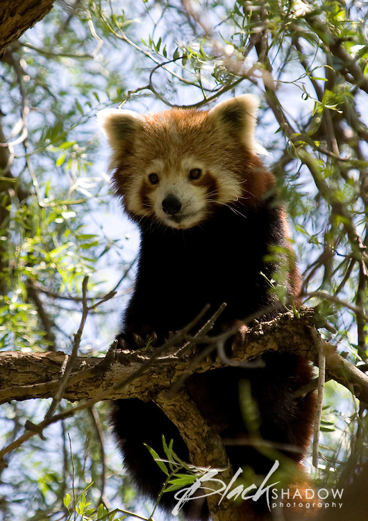 Red Panda at Melbourne Zoo